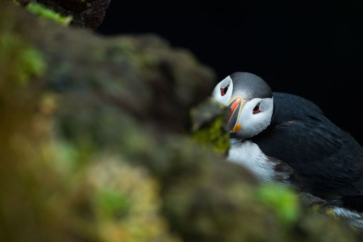Close-up portrait of puffin
