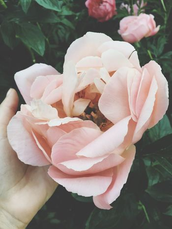 Season  Outdoors Nature Growth Freshness Close-up Flower Blooming Beauty In Nature Background Botany No People Peony  PeonyBloom Tenderness Hand And Flower Pastel Power Human And Nature Country Life Garden Showcase June In My Hand