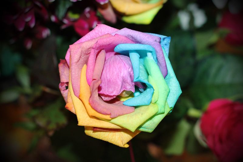 Beautiful Rose Flower Petal Rose - Flower Fragility Beauty In Nature Flower Head Nature Plant Close-up Outdoors Focus On Foreground Growth No People Leaf Day Blooming Rainbow Freshness Colorful