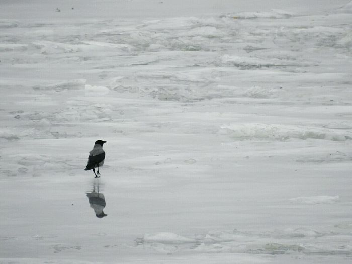 Bird On Ice