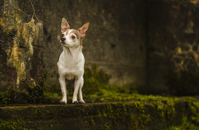 View Of Chihuahua Dog Standing By Moss Covered Wall