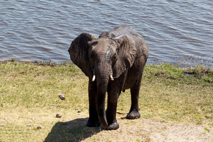 Elephant standing in a water