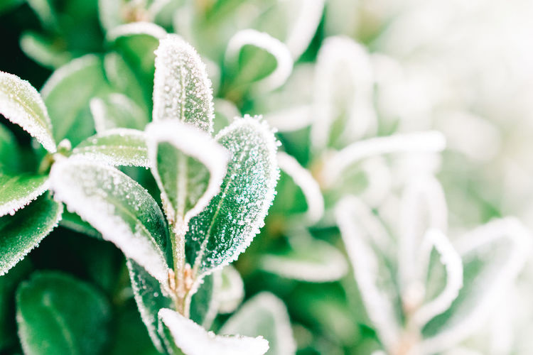 Buchsbaum Frozen Frozen Flowers Green Color Greenery Scenery Ice Crystal Nature Nature Photography Winter Winter Portrait Beauty In Nature Box Tree Boxwood Close-up Focus On Foreground Frozen Nature Frozen Plants Garden Garden Photography Greenery Ice Crystals Ice Crystals On Plants Nature_collection Naturelovers Plant Shades Of Winter