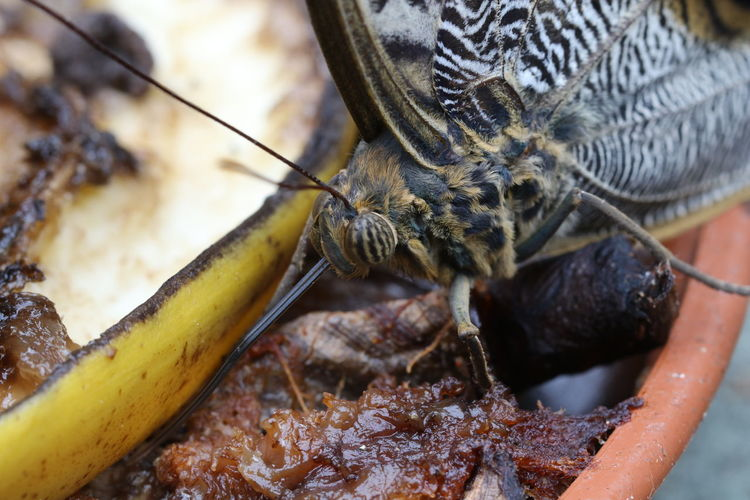 Close-Up Of Butterfly And Banana Peel