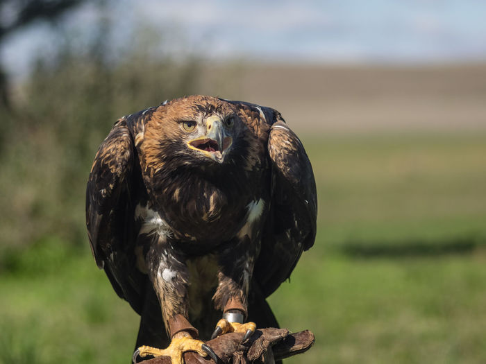 Close-up of eagle perching on a field