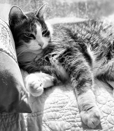 Pets Domestic Cat Feline Domestic Animals Mammal Domestic Cat One Animal Vertebrate Indoors  Whisker