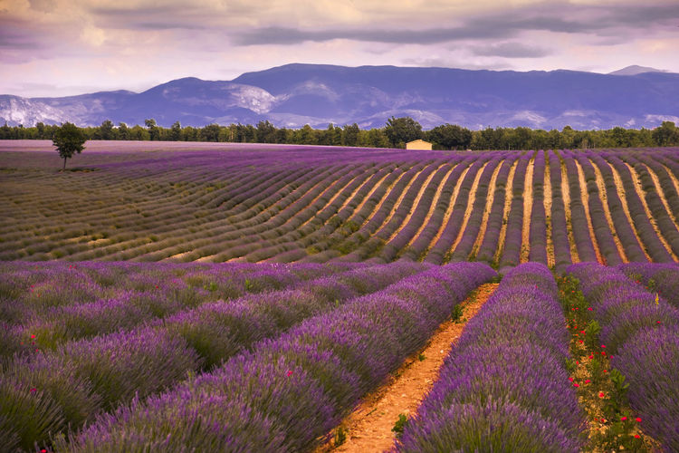 A purple fairytale France Provence Agriculture Beauty In Nature Cloud - Sky Farm Field Flower Flowerbed Flowering Plant Growth Land Landscape Lavanda Lavender Nature No People Outdoors Plant Purple Rural Scene Scenics - Nature Sky Tranquil Scene Tranquility The Great Outdoors - 2018 EyeEm Awards The Traveler - 2018 EyeEm Awards My Best Travel Photo