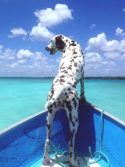 Dalmatian dog standing on boat in sea