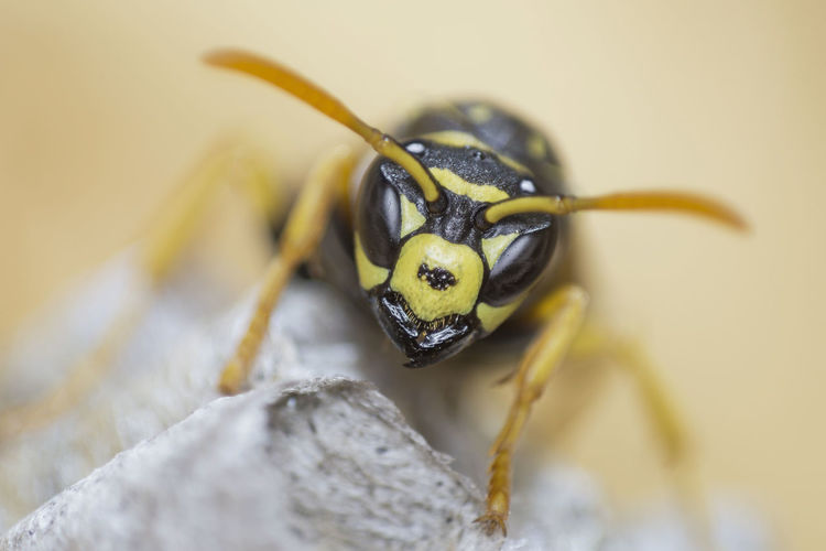 Common wasp / Vespula vulgaris [Meopta Anaret 80mm f/4.5] Animal Animal Antenna Animal Body Part Animal Eye Animal Themes Animal Wildlife Animals In The Wild Close-up Day Focus On Foreground Insect Invertebrate Nature No People One Animal Outdoors Plant Selective Focus Wasp Yellow