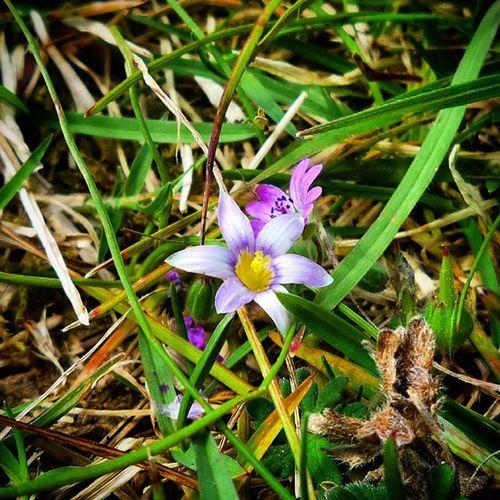 Macro Purpleandgreen Purple Flower Lawn Grass Nature Leaveonlyleaves Lol_grass Purplecrauon_green