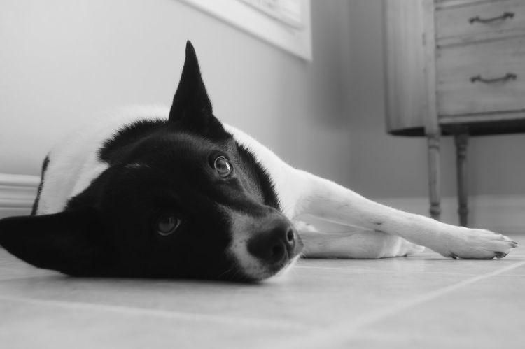 Man's best friend🐶 Dog Border Collie American Eskimo Puppy Best Friend Black And White Love Sleepy Tired Cute Soft