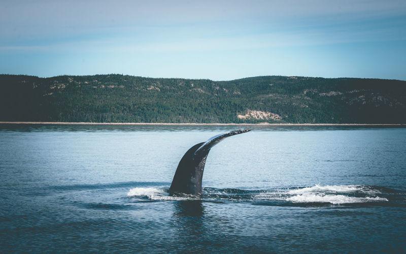 Tadoussac whales