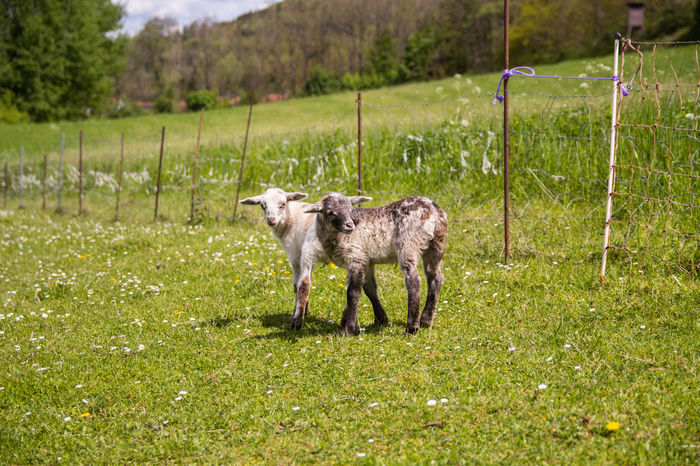 Animales Animals Bauernhof Cordero Farm Field Grass Grassy Lamb Lamm Livestock Natur Nature Outdoors Oveja Schafe Sheep Tiere Wiese  Wildlife