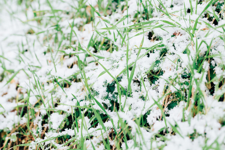 Close-up of white flowering plants on snow covered land