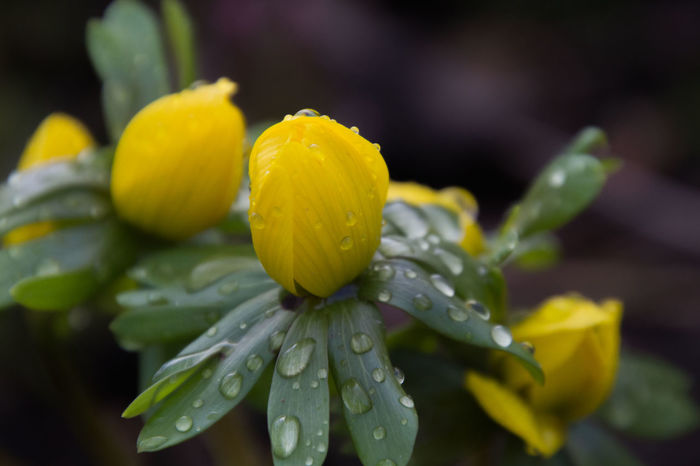 It has rained - Winter aconite with water drops Beauty In Nature Close-up Day Drop Flower Flower Head Fragility Freshness Growth Leaf Nature No People Outdoors Petal Plant Rain RainDrop Rainy Season Spring Spring Flowers Water Wet Winter Aconite Winterlinge Yellow