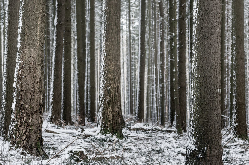 Beauty In Nature Birch Tree Cold Temperature Day Forest Growth Landscape Nature No People Non-urban Scene Outdoors Pine Woodland Scenics Snow Tranquil Scene Tranquility Tree Tree Trunk Winter WoodLand