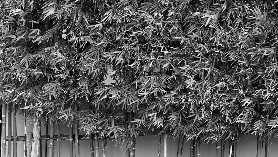 Bamboo tree which green color fresh leaf and light brown for body and beautiful pattern for background or decoration outdoor architecture building and can use for natural private fence in house. No People Day Roof Built Structure Architecture Nature Plant Thatched Roof Outdoors Tree Building Exterior Hanging Growth Building Large Group Of Objects Low Angle View Abundance Protection Security Bamboo; Tree; Forest; Background; Green; Jungle; Tropical; Nature; Leaf; Plant; Garden; Natural; Asian; Japanese; Asia; Zen; Japan; Abstract; Pattern; Chinese; China; Growth; Botanical; Beautiful; Design; Trees; Color; Decoration; Fresh; Spring; Outdoor;