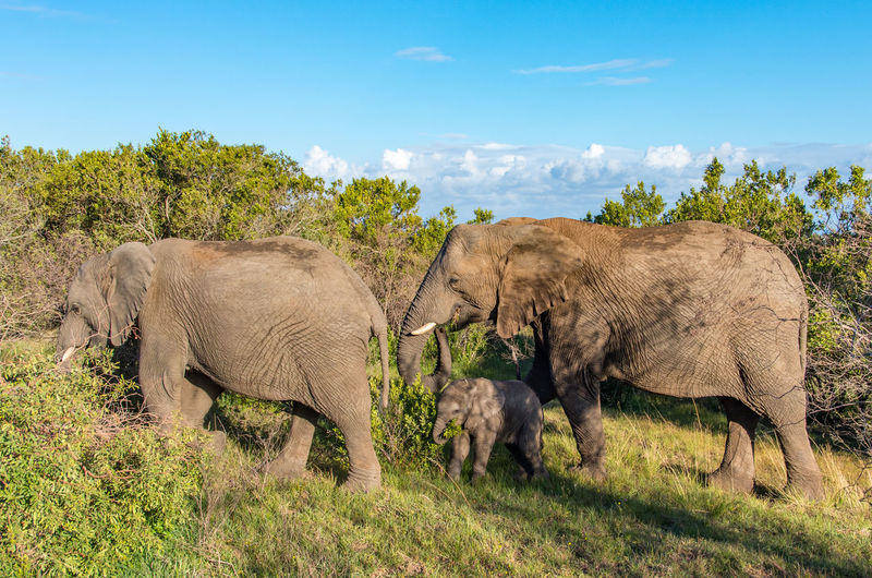 Family Young Elephant African Elephant Animal Animal Family Animal Themes Animal Wildlife Animals In The Wild Elephant Grass Group Of Animals Land Mammal Nature No People Outdoors Plant Safari Tree