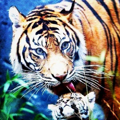Tiger Mothers_love Instaclick Instalikes picsforlikes picoftheweek nikon camera professional photography forest