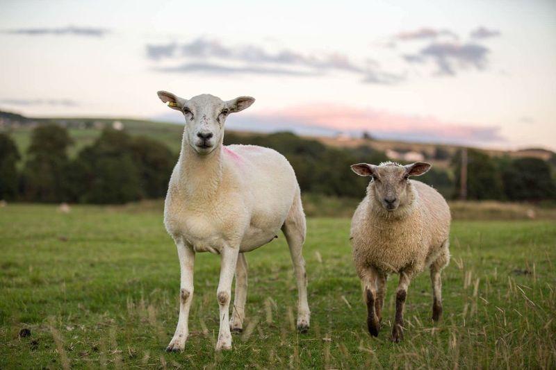 Portrait Of Sheep On Grassland