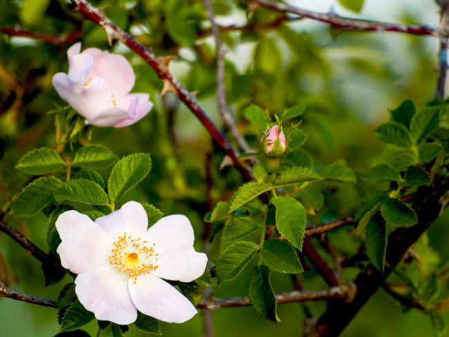 Copy Space Nature Beauty In Nature Close-up Environment Flora Floral Flower Flower Head Fragility Freshness Growth Hip Nature Petal Plant Rosa Canina Rosa Canina Hips Roses Space For Text Spring Springtime Wild Plants Wild Rose Wildlife