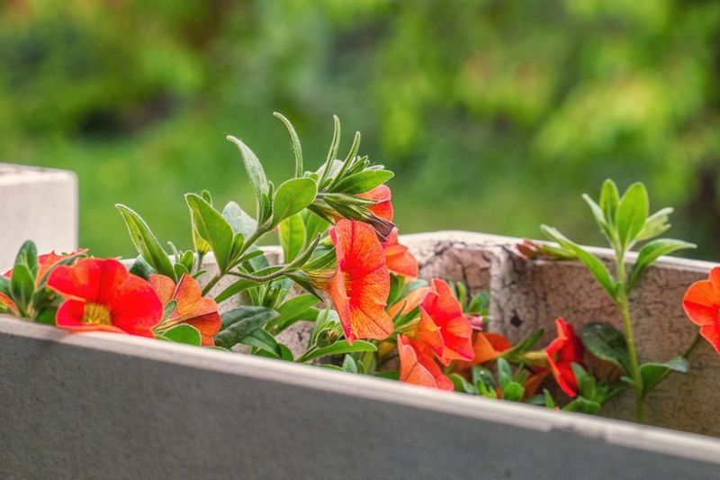 Petunias red flower balcony close-up of red flowering plant