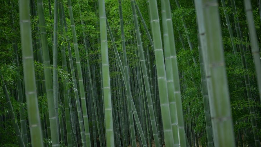 Green Eyeeem Gallery EyeEm Gallery Japan Photography Spiritual Place Japan Bamboo Grove Plant Green Color Growth Tree Bamboo Grove Land Forest Beauty In Nature Tranquility Bamboo Bamboo - Plant Tranquil Scene Scenics - Nature Non-urban Scene The Traveler - 2018 EyeEm Awards