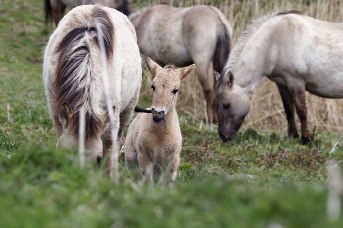 It Just Tastes Good Foal Chewing Sister's  Tail Konik Horse Animal Themes Mammal Field Young Animal Grass Domestic Animals Nature Animal Family No People Animals In The Wild Togetherness Outdoors