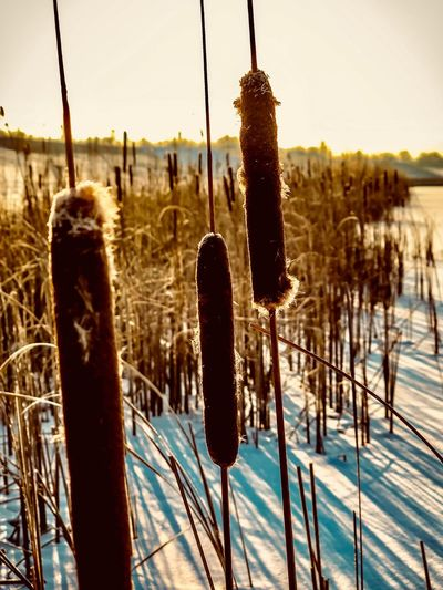 Growth Cattail Nature Tranquility Field Outdoors No People Tranquil Scene Focus On Foreground Scenics Beauty In Nature Plant Cold Temperature Day Close-up Sunset Sky