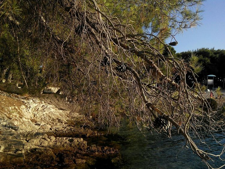 Pine Black Pine Trees Beach Adriatic Coast Adriatic Sea Beach Croatia Primošten Stones