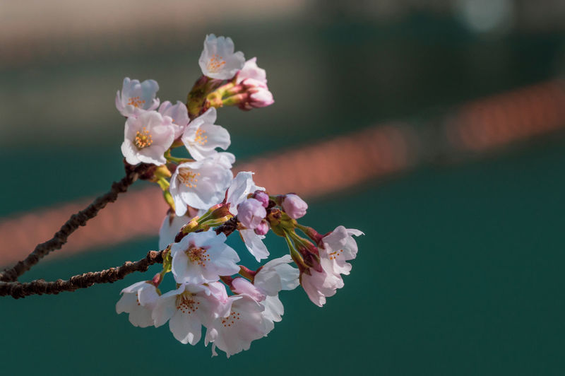 Close-up of cherry blossoms outdoors against blurred background of lake  and orange floats on lake.