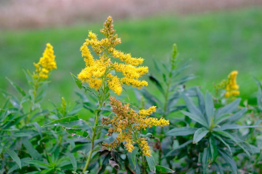 Fujifilm Fujifilm X-E2 Fujifilm_series Fujifilm_xseries Goldenrod Japan Riverside Yellow Yellow Flower セイタカアワダチソウ 花 野草