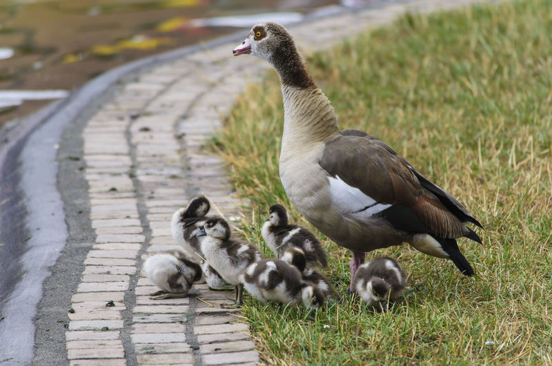 Animal Family Beauty In Nature Bird Day Egyptian Goose Germany Goose Grass Grassy Nature No People Outdoors Trier