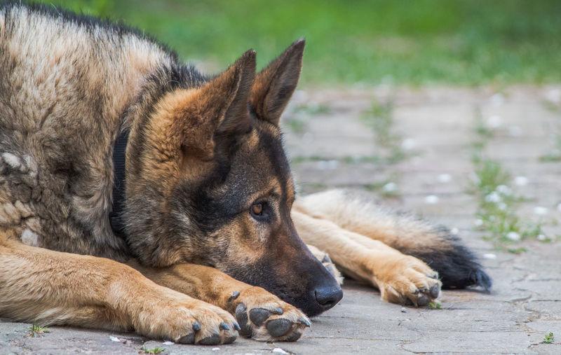 Such a boring day Pet Photography  Pet Portraits Animal Themes Dog Domestic Animals German Shepherd One Animal Pet The Week On EyeEm