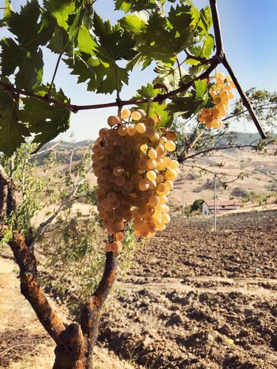 Cesarò-nebrodi Gianni Lo Turco Tree Fruit Food And Drink Growth Agriculture Hanging Nature Outdoors Day Vineyard No People Food Winemaking Freshness Healthy Eating Beauty In Nature Close-up Sky Fruits Eating In Sicily Freshness Nature Beauty In Nature