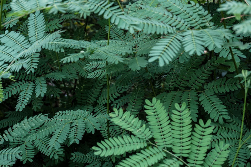 Full frame shot of fern leaves
