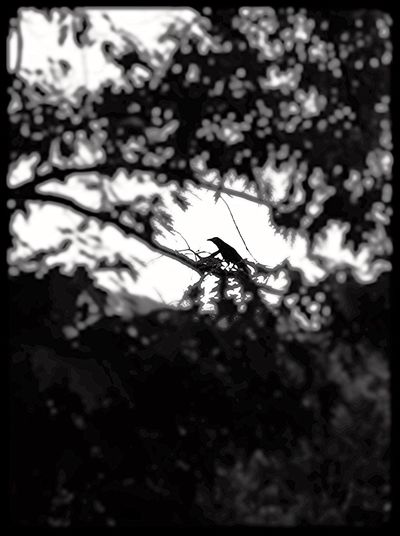 Raven Monochrome Black & White Tree