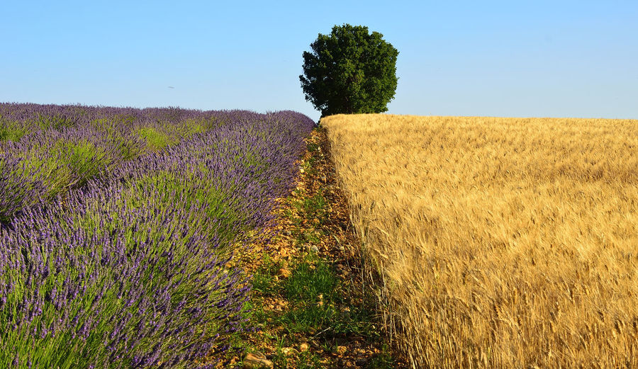 Scenic view of lavender field against blue sky