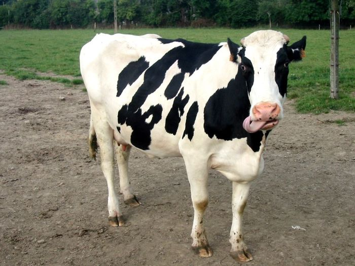 #animal #funny Animal Themes Cow Day Domestic Animals Landscape Mammal Nature No People
