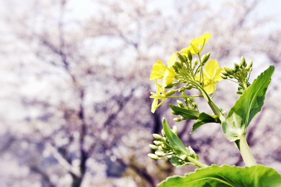 Japan 自然 桜 菜の花