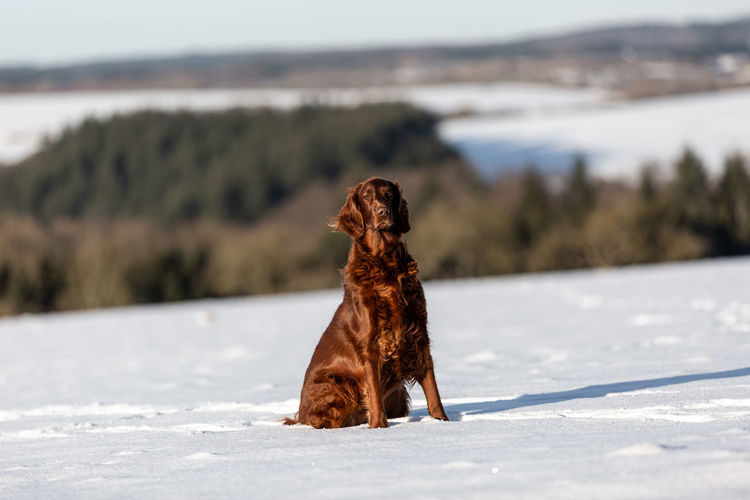 Red irish setter sitting on a hill in the snow looking at camera