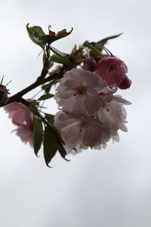 Almond Tree Beauty In Nature Blossom Blossoms  Branch Buitifull Cherry Trees Close-up Day Flower Flower Head Fragility Freshness Growth Lovely Nature No People Outdoors Petal Pink Color Sky Spring Springtime Stamen Tree