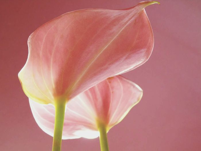 Low angle close-up of calla lily against pink background