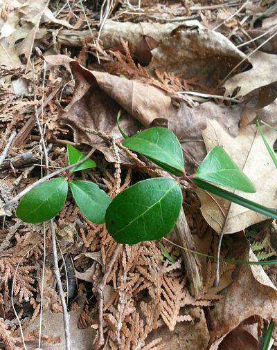 Botanical Spring Wild Plants Wintergreen Ontario Parrysound Leaves Growing Young Plant Leaf Vein