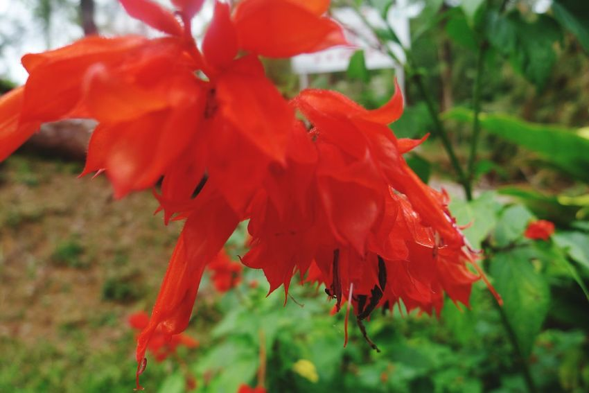 Flower in Baguio. Panagbenga2017 FlowerRed Nature_collection Beauty In Nature Nature Orange Color Close-up Petal Growth Plant Freshness No People Day Outdoors Fragility Maple Leaf Flower Head