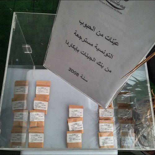 Tunisian Wheat reloaded Igertunisia Tunisia Gene_bank Carthagina قرطاجينة أحكيلي Tunisian_brand الحي يروح :) هذا قمح أجدادنا :)