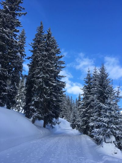 Snow Winter Cold Temperature Tree Plant Beauty In Nature Sky Covering Tranquility Land Scenics - Nature No People Nature Tranquil Scene Frozen White Color Non-urban Scene Day Field Outdoors Pine Tree Coniferous Tree Skiing