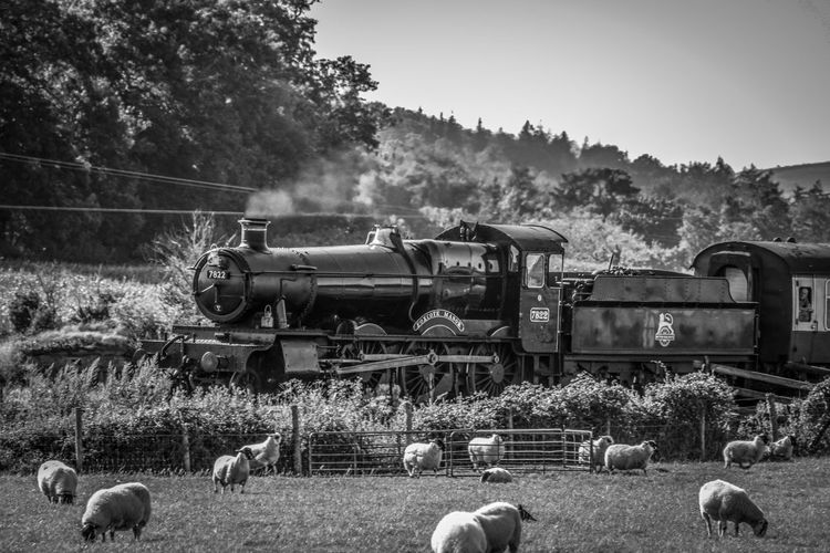 View of sheep on field with steam train in background