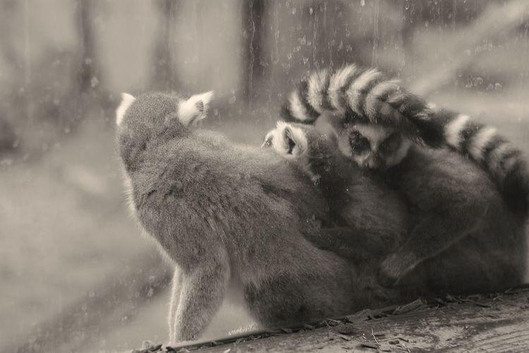 Lemur Water