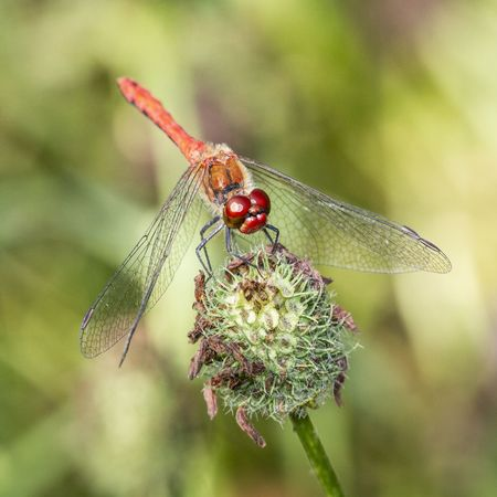 Insect Invertebrate Animal Wildlife Animals In The Wild Animal Animal Themes Close-up One Animal Focus On Foreground Day Plant Nature No People Red Animal Wing Green Color Plant Part Leaf Beauty In Nature Outdoors Dragonfly